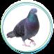 Pigeons Columbidae